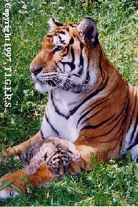 A mother tiger, and her child